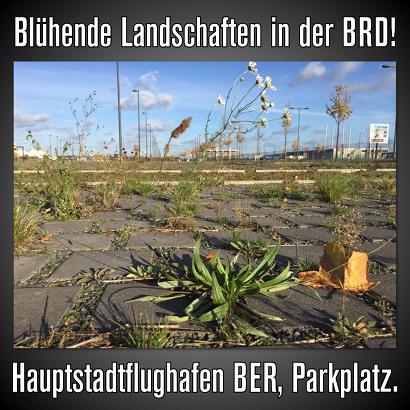 Blühende Landschaften in der BRD! -- Foto eines gepflasterten Platzes, in den Fugen zwischen den Steinen sprießt allerlei grünes und blühendes Kraut empor, im Hintergrund Flughafenanlagen -- Hauptstadtflughafen BER, Parkplatz.