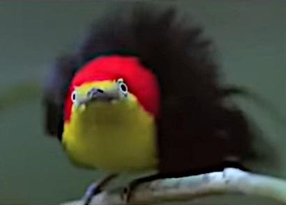 Ein sehr flauschig aussehender Vogel in schwarz-rot-gold.